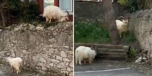 Koronavirüs Nedeniyle Karantinaya Çekilen İnsanların Sokaklarda Oluşturduğu Boşluğu Dağ Keçileri Doldurdu