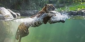 Koronavirüs Canlı Blog | New York'ta Hayvanat Bahçesinde Bir Kaplana Koronavirüs Bulaştı