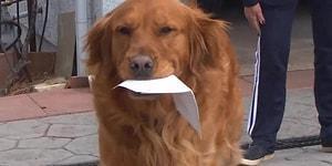 Koronavirüs Nedeniyle Evinden Çıkamayan Kadına Yemek Götüren Muhteşem Köpek