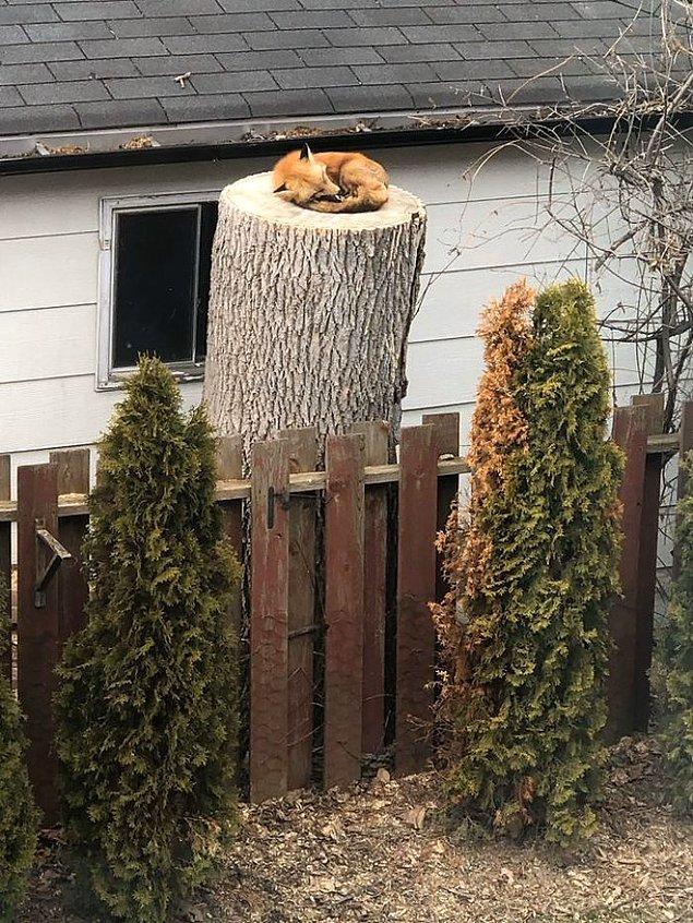 10. Bir evin arka bahçesindeki ağacın üzerinde uyuyan tilki.