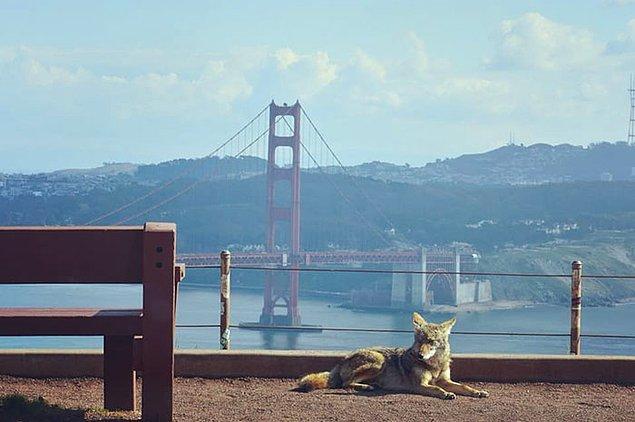 3. San Francisco'dan bir kır kurdu 👇