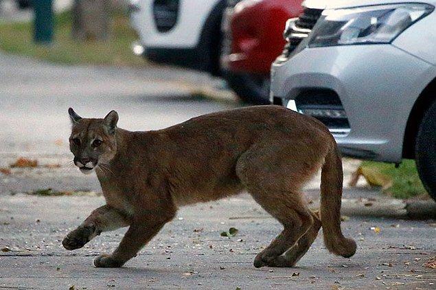7. Vahşi bir puma, bu fotoğraf Şili sokaklarında 24 Mart'ta çekilmiş.