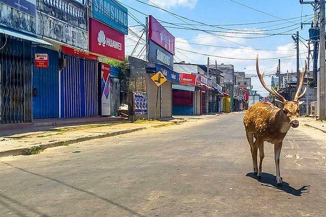 14. Sri Lanka'da çekilmiş bir fotoğraf, vahşi bir geyik.