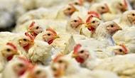 Salgının Diğer Yüzü: ABD'de Satılamayan Domuzlar İğne ile Öldürülüyor, Tavukların Kümesine Karbondioksit Veriliyor