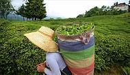 Rize'de Çay Toplamak İçin 6 Bin 900 TL Maaşla İşçi Aranıyor