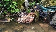 Geçtiğimiz Hafta İlk Kez Görüntülenmişti: Nesli Tehlikede Olan Balık Baykuşu Avcılar Tarafından Öldürüldü