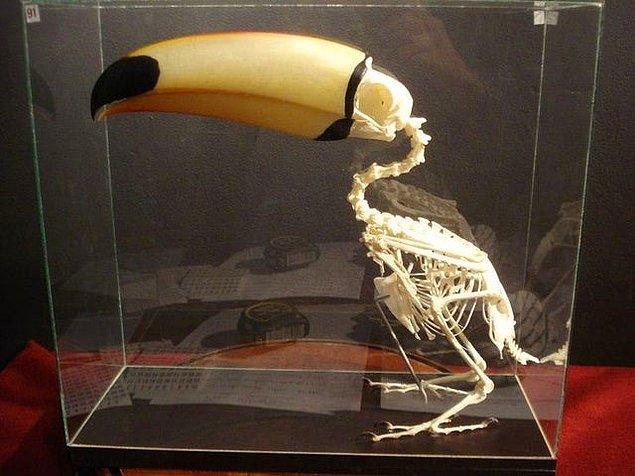4. Tukan kuşunun iskeleti: