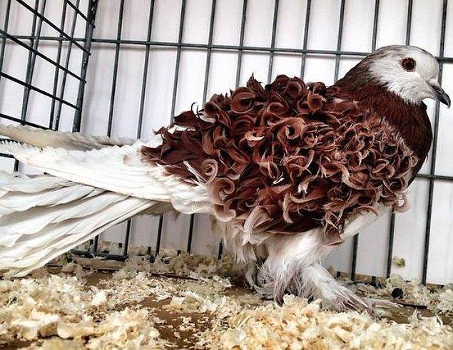 6. Kıvırcık güvercin görmüş müydünüz daha önce?