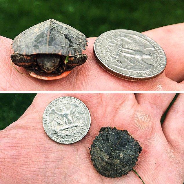11. Bozuk para boyutunda bir kaplumbağa: