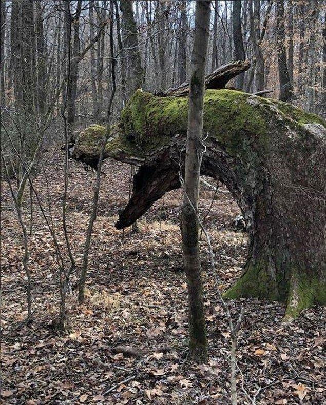 5. Ejderha şeklinde büyüyen bir ağaç! 😎