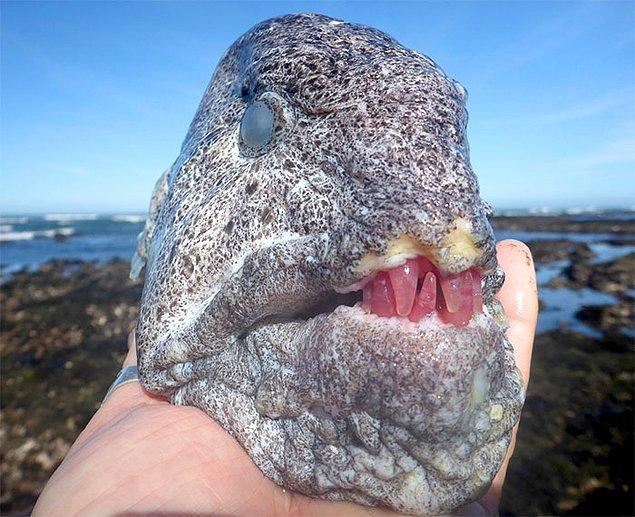 10. Kurt yılan balığı kafası: