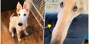 30 Santimetrelik Boyuyla Dünyanın En Uzun Burunlu Köpeği Unvanını Kazanan Tüylü Dostumuz 'Eris'