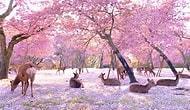 Kiraz Ağaçlarının Çiçek Açan Büyüleyici Görüntüsü Altında Keyif Yapan Geyikler