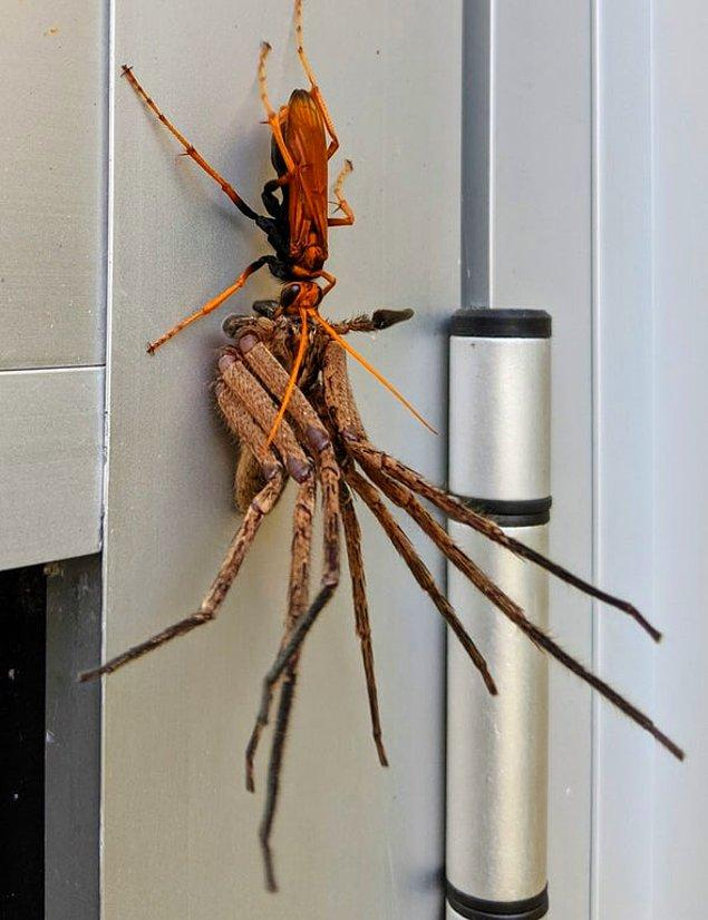 2. Devasa tarantula: