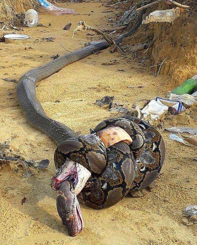 13. Kobra yutan piton: