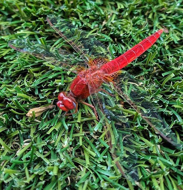 """17. """"Bahçemde bulduğum kırmızı helikopter böceği:"""""""
