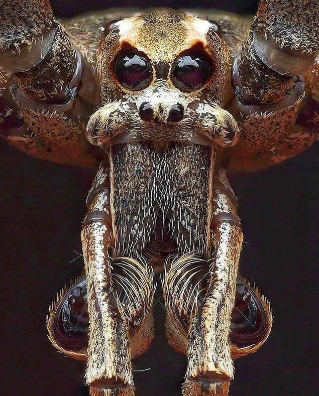 20. Gulyabani yüzlü örümcek: