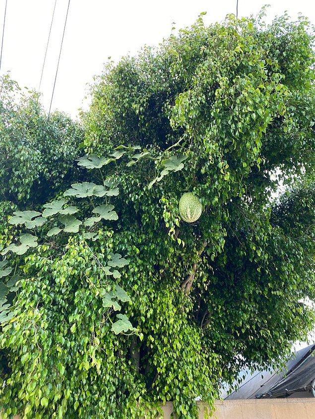 17. Ve son olarak, ağaçta yetişen bu karpuz: 😱