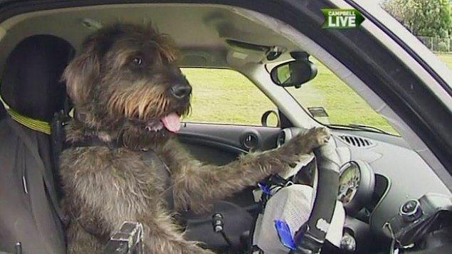 5. Bir keresinde Yeni Zelanda'da barınaklardaki köpeklerin ne kadar zeki olduğunu göstermek için üç köpeğe modifiye edilmiş arabaları sürmek öğretilmişti.