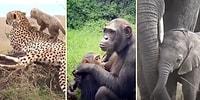 Anne Hayvanlardan İzlerken Gözlerinizden Kalpler Fışkırtacak Muhteşem Görüntüler