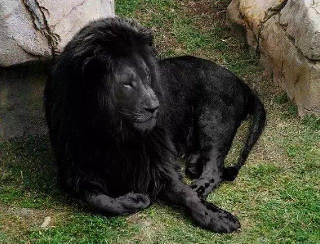 13. Bir süredir internette dolaşan bu siyah aslan aslında siyah değil. Rengiyle oynanmış.