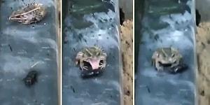 Tadını Beğenmediği Böceği Elinin Tersiyle Fırlatan Kurbağa