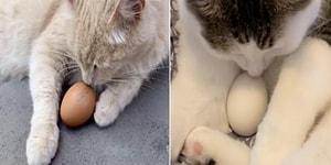 Gözlerinizden Kalpler Fışkıracak: Kediler Kendilerine Verilen Yumurtaları Koruyorlar