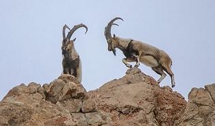Tarım ve Orman Bakanlığı'ndan İhale: Tunceli'de Koruma Altındaki Dağ Keçileri Avlanılabilecek