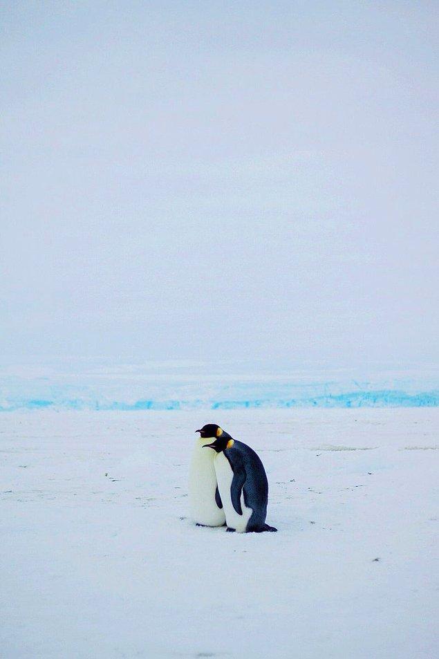 """""""Bu çifte bakarken kalbim eridi. Orada geçirdiğimiz zaman boyunca böyle duruyorlardı. Sırtları diğer penguenlere dönüktü ve buzullara bakıyorlardı."""""""