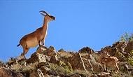 Tunceli'deki Dağ Keçileri 'Şimdilik' Kurtuldu: Bakanlık, Av İhalesini İptal Etti