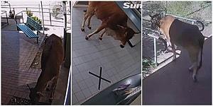 Avustralya'nın Bir Eyaletinde Polis Karakoluna Giren Meraklı İneğin Kameralara Yakalandığı Anlar