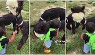 Kendisini Sevmeye Gelen Küçük Çocuğa Sarılıp Ona Sevgi Gösteren Alpaka Devesi