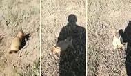 Bir İnsan Tarafından Korkutulup Kovalanan ve Yakalandığını Düşününce Çığlık Atan Sincap