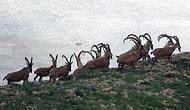 İhaleler Son Bulmuyor: Erzincan'da 10 Dağ Keçisinin Öldürülmesi İçin 227 Bin TL Bedel Belirlendi