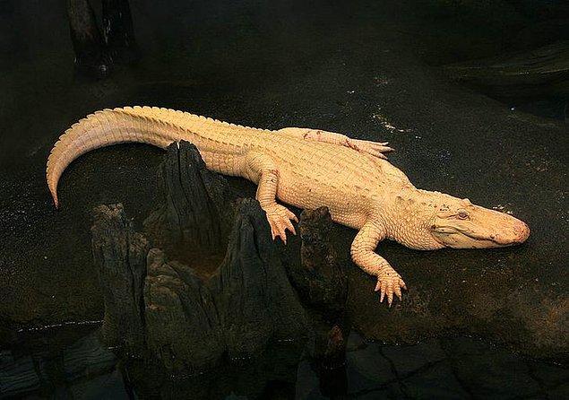 4. Timsahlar da albino olabilir.