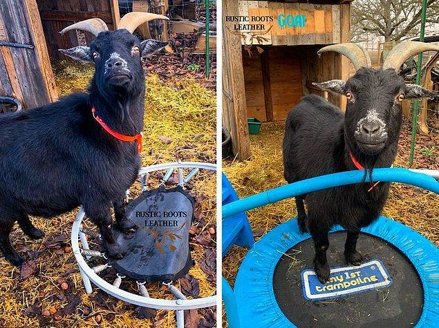 1. Trambolini kırıldığı için üzülen keçinin mutsuzluğunu gördükten sonra bazı iyi yürekli insanlar ona yenisini yollamış.