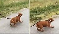 Barınaktan Kurtarılan Köpeğin İnsan Dostu ile Birlikte Yürürken Kaydedilen Aşırı Mutlu Görüntüleri