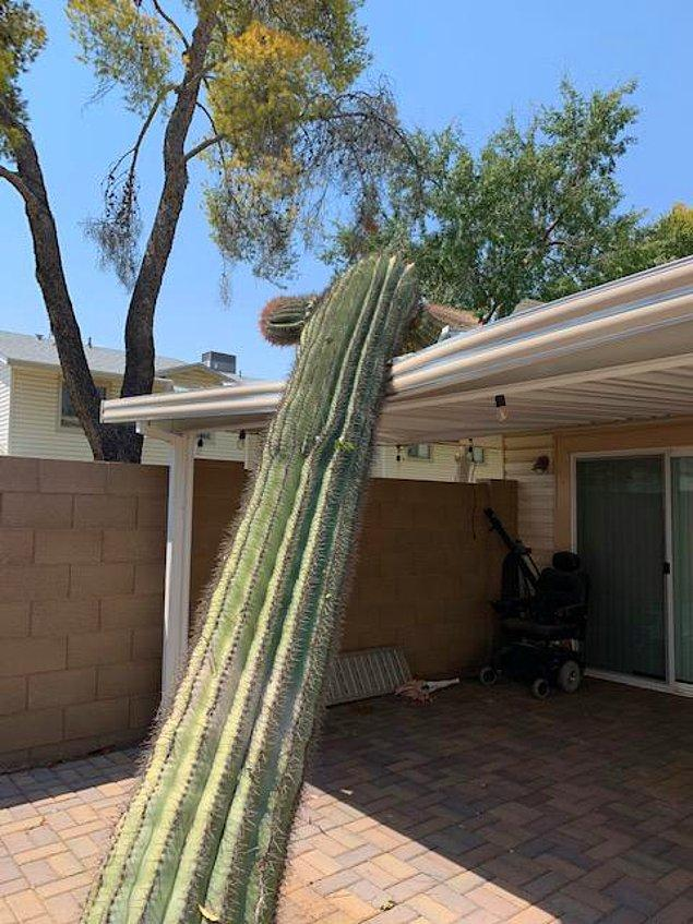 """3. """"Arizona'da saguaro kaktüsünü kesmek yasak. Dün gece 4 buçuk metrelik bir tanesi çatımı mahvetti."""""""
