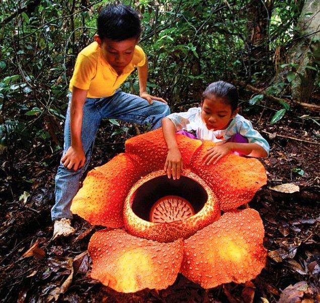 8. Rafflesia Arnoldii: Çürümüş Ceset Zambağı (Leş Çiçeği)