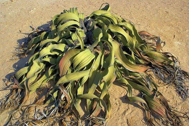 9. Welwitschia Mirabilis: Welwitschia Kaktüsü