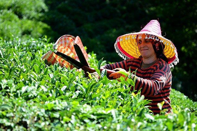 9. Beyaz, yeşil, siyah ve oolong çayı aynı yaprak türünden elde edilir.