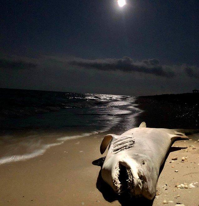 1. Delaware sahilinde karaya vuran köpek balığı: