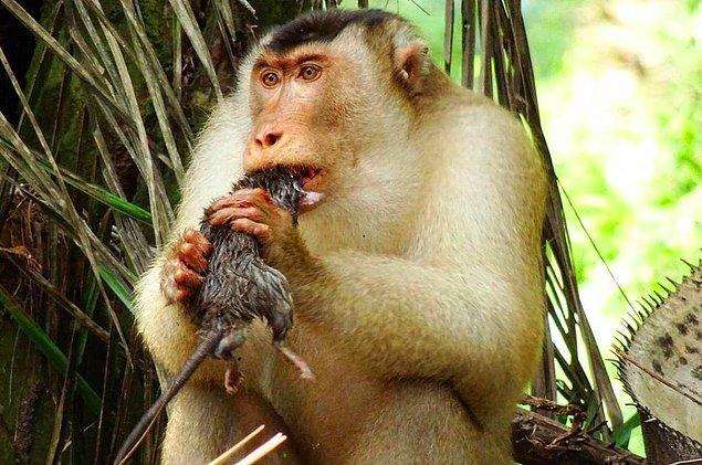 7. Güney domuz kuyruklu makakların yıllardır meyve yediği düşünülse de bilim insanları bir süredir bu hayvanların fare yediğini gözlemlemişlerdir.