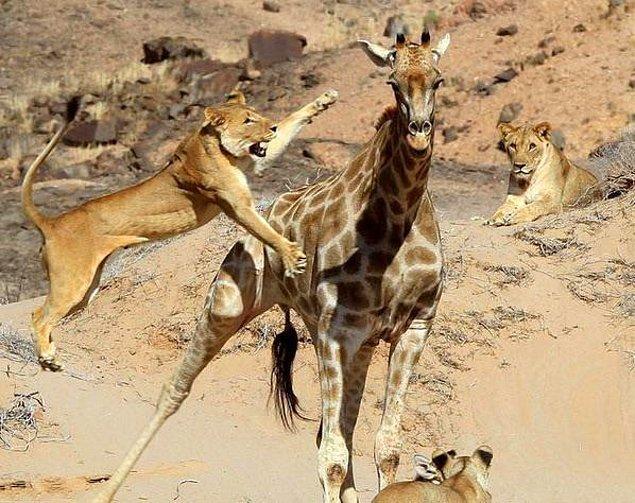 14. Aslan saldırısına uğrayan zürafa: