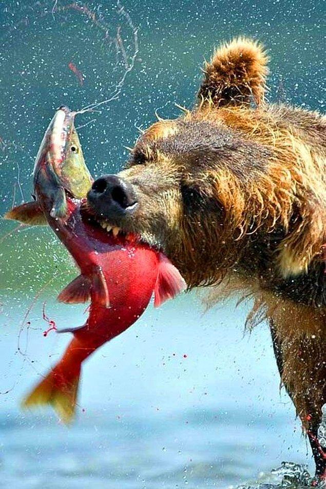 19. Ve son olarak, balık avlayan bozayı: