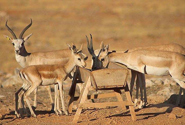 Son olarak Şanlıurfa'da dokuz ceylanın avlanması için yapılan ihaleye mahkeme yürütmeyi durdurma kararı vermişti.