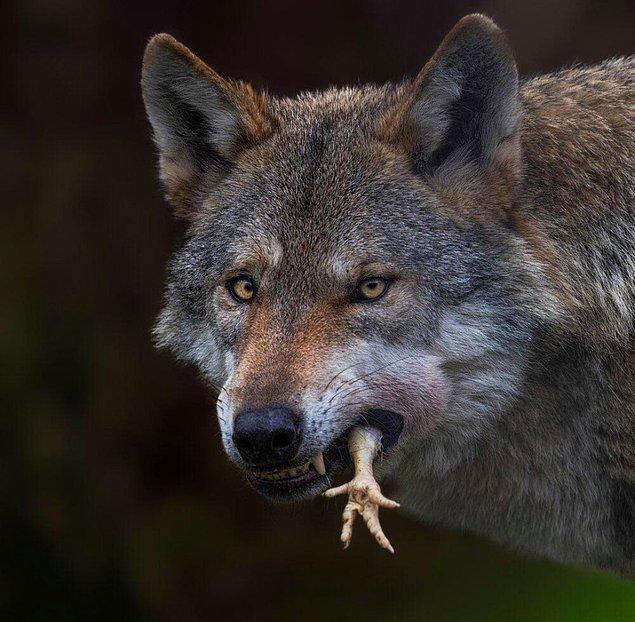 3. Yakaladığı kuşu afiyetle yiyen kurt: