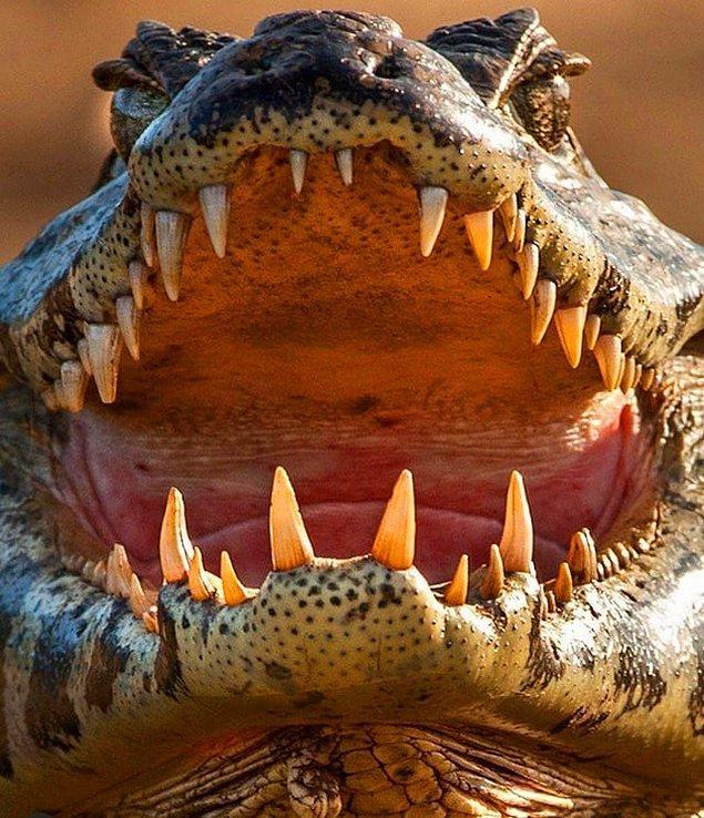 14. Güçlü dişlerini bizlere gösteren vahşi kayman: