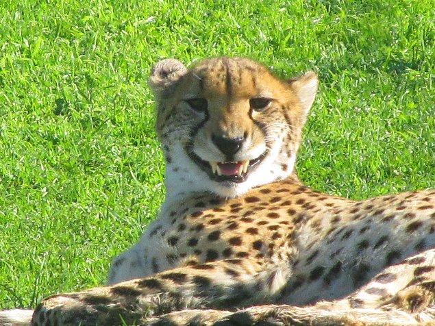 2. Çok yaşlı hayvanlar dişleri aşındığı için yemek yiyemediklerinden ölebilirler.