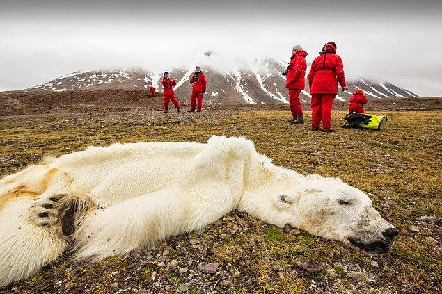 14. Norveç'te buzulların erimesiyle açlıktan ölen bir kutup ayısı.